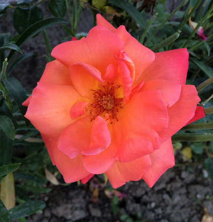 orange rose: Orange Rose Flower
