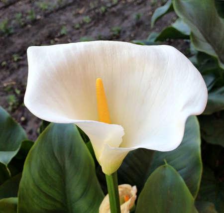 White Clove Flower