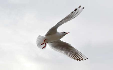 Bird Flying Open Wings Stock Photo