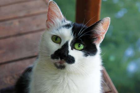 ojos verdes: Hermoso gato con los ojos verdes