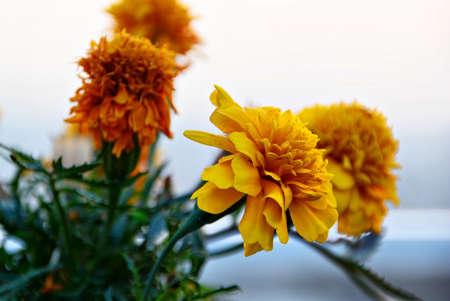 Yellow Flowers Closeup Stock Photo
