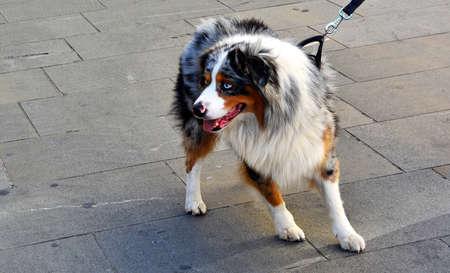 Beautiful Dog with Blue Eyes Stock Photo