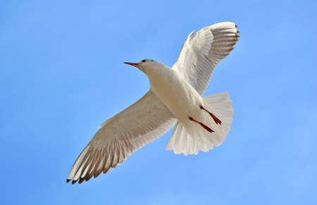 white bird: White Bird flying in the Sky