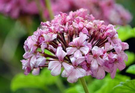 Pink Flowers Close Up Macro