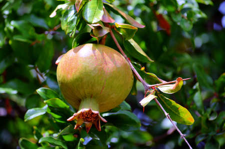 ripe: Ripe Pomegranate Green on Tree Stock Photo