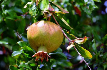 Ripe Pomegranate Green on Tree 版權商用圖片