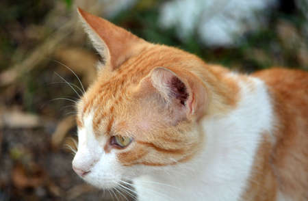gato naranja: Orange Cat Head Close Up Macro Foto de archivo