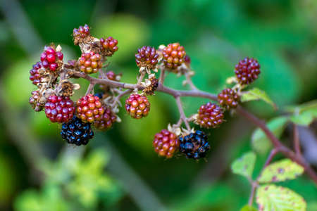 red berries: Black and Red Berries