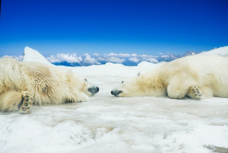 Two polar bears sleep on ice