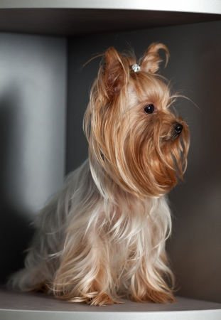 The beautiful Yorkshire terrier sits on a regiment