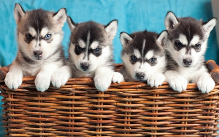 four puppies Husky photo