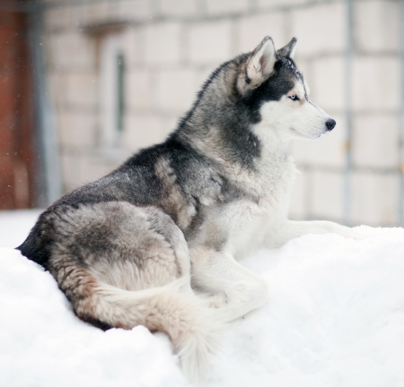 Husky dog in the snow Stock Photo