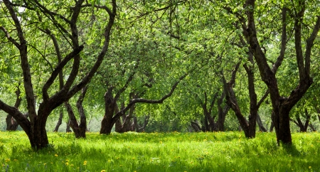 non cultivated: Green apple trees in spring park