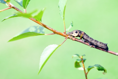 The butterfly big caterpillar  Deilephila elpenor  оn a tree branch photo