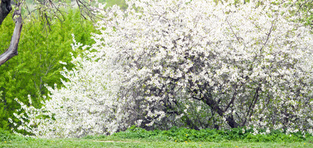 flowering cherry tree in spring. plum blossoms closeup. photo of spring flowers blooming photo