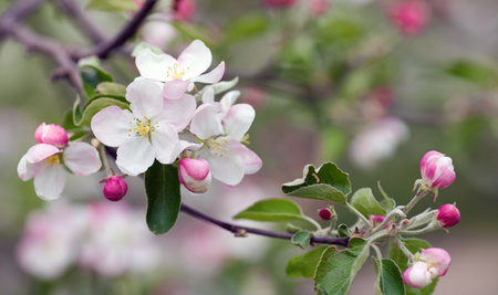 plum blossoms closeup.Plums tree macro. photo of spring flowers blooming photo