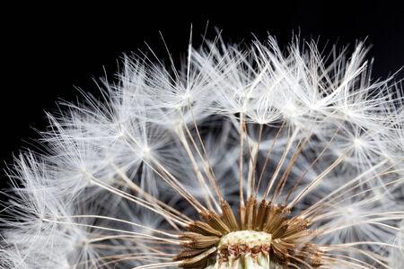 dandelion seed: beautiful dandelion seed close up on black background