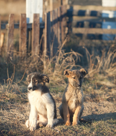mutts: two little mutts homeless puppy sitting on a withered autumn grass Stock Photo