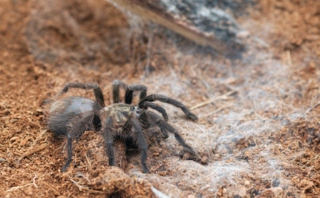 Beautiful spider tarantula Phormictopus auratus closeup. Photo dangerous spider Stock Photo