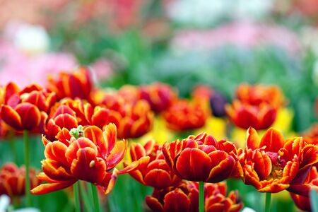 front  or back  yard: Beautiful red garden flowers on blurred background