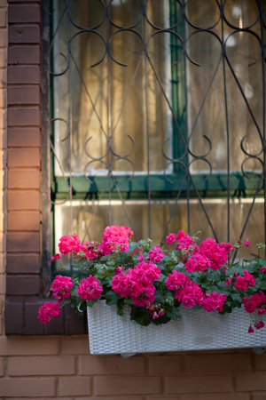 geranium color: Beautiful red flowers in a basket on the window Stock Photo