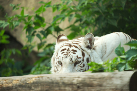 tigre blanc: Tigre blanc Sad close-up. Tiger visage allong� Banque d'images