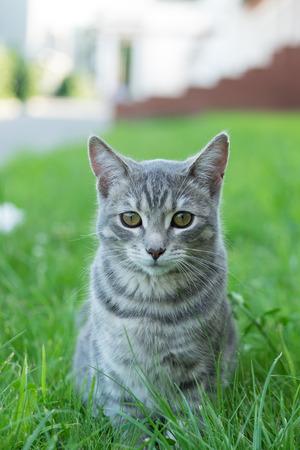 gray cat: Beautiful gray cat on a green grass