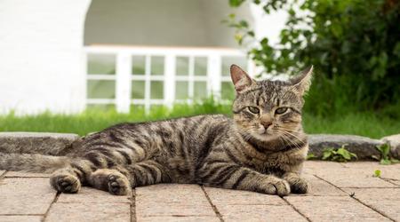 gato atigrado: A beautiful tabby cat lying on the pavement Foto de archivo