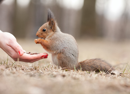 animal finger: Little gray squirrel eating a female hand