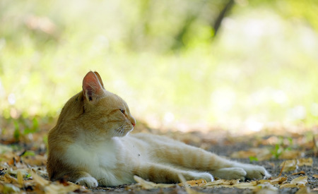 redheaded: Red-headed cat is in the shade on the fallen leaves