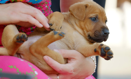 redheaded: Red-headed small puppy lying on female hands