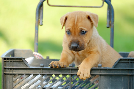 redheaded: Red-headed small puppy in a basket on blurred background
