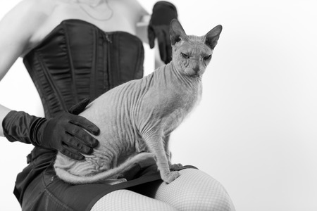 gray cat: Sphynx cat sits on a womans knees on gray background