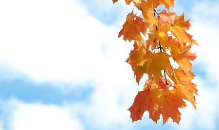 moving images: Autumn yellow maple leaves on a branch against the sky