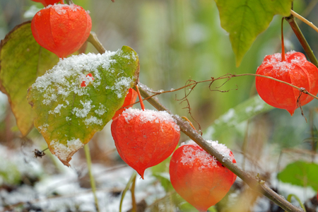 alkekengi: Chinese Lanterns, Physalis alkekengi and the first snow