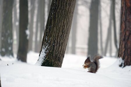 forestation: Beautiful squirrel in the winter forest holding food in its paws