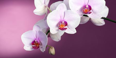 backdop: Pink orchid on purple backgorund. Photo beautiful flower.