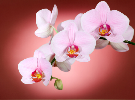 backdop: Pink orchid on red backgorund. Photo beautiful flower.