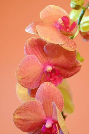 backdop: Orange orchid on orange backgorund. Photo beautiful flower.