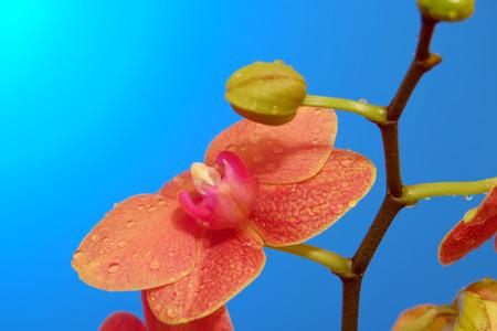 backdop: Orange orchid on blue backgorund. Photo beautiful flower.