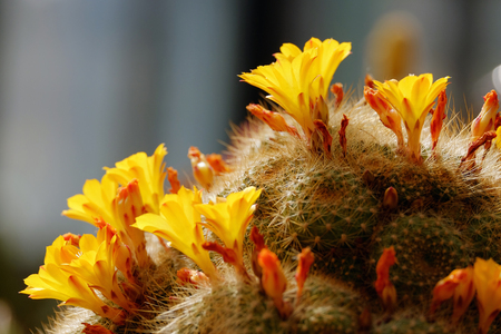 backdop: Blooming cactus with beautiful yellow flowers close-up