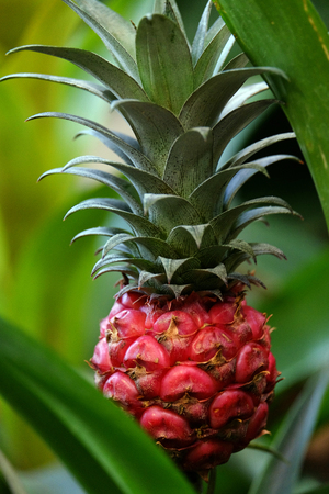 backdop: Little beautiful pineapple fruit growing in the grass