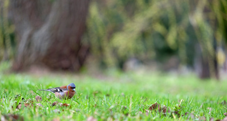 finch: Little beautiful finch looking for food on a green grass Stock Photo