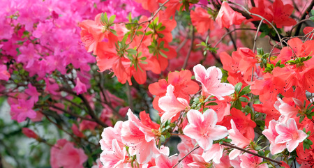 backdop: Beautiful blooming colorful azaleas on a blurred background
