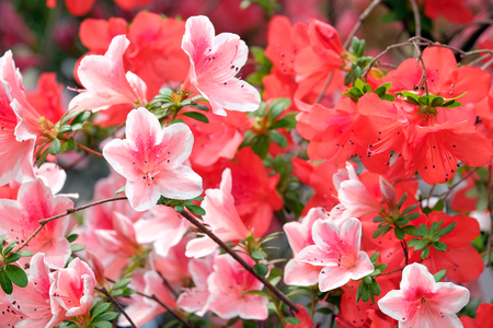 backdop: Beautiful blooming red and pink azaleas on a blurred background