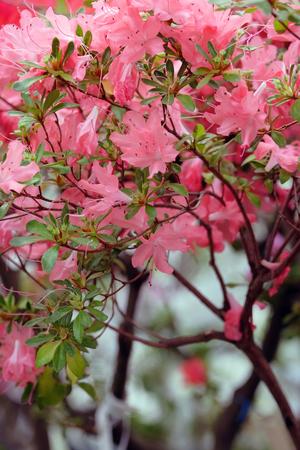 backdop: Beautiful blooming pink azalea on blurred background Stock Photo
