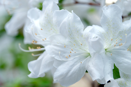 backdop: Beautiful blooming white azalea on blurred background