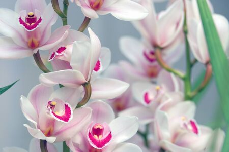 backdop: Beautiful white and pink blooming orchid on a blurred background
