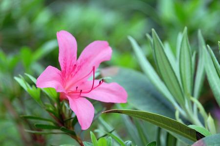 backdop: Beautiful pink azalea on green blurred background Stock Photo