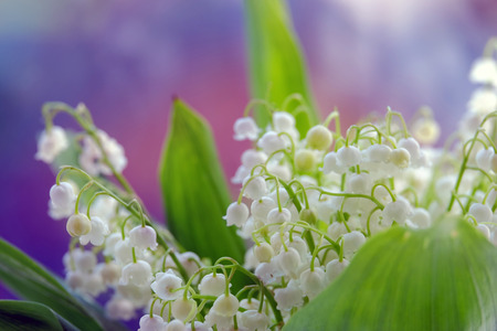 backdop: Beautiful Lilies of the valley closeup on the blurry background